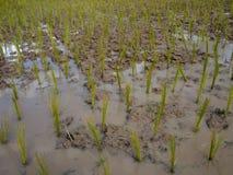 Reis, der Jahreszeit in Thailand bewirtschaftet lizenzfreie stockfotos