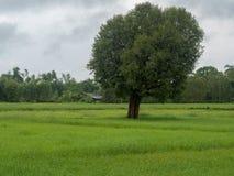 Reis, der Jahreszeit in Thailand bewirtschaftet stockfoto
