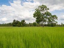 Reis, der Jahreszeit in Thailand bewirtschaftet lizenzfreie stockbilder