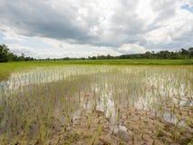 Reis, der Jahreszeit in Thailand bewirtschaftet lizenzfreie stockfotografie