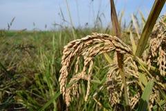 Reis, der krasnodar Region erntet Lizenzfreie Stockbilder
