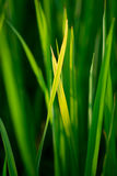 Reis, der Nahaufnahme pflanzt Lizenzfreie Stockbilder