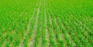 Reis, der in der Regenzeit Indien bewirtschaftet Grün lizenzfreie stockfotografie