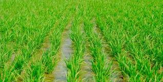 Reis, der in der Regenzeit Indien bewirtschaftet Grün, Makromodus stockfoto