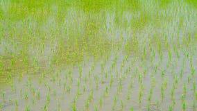 Reis, der in der Regenzeit Thailand bewirtschaftet Lang das lizenzfreie stockbilder