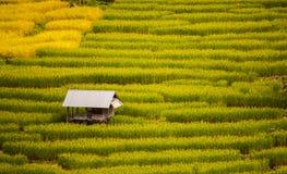 Reis, der in Thailand 5 bewirtschaftet stockfotografie