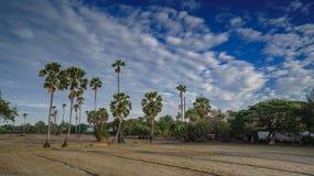 Reis, der in Thailand, in der Zeitspanne, im Ackerland und im Zuckerkumpel bewirtschaftet Lizenzfreie Stockfotografie