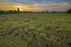 Reis, der unten der Wind fällt Stockbild