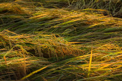 Reis, der unten der Wind fällt Stockfoto