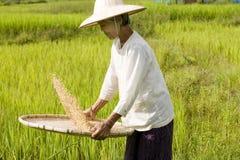 Reis-Ernte Stockbilder