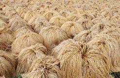 Reis-Ernte in Asien Stockfotografie