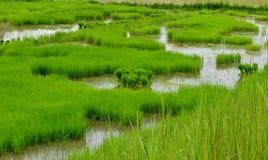 Reis, Ernten, Getreide Stockbilder