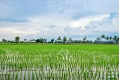 Reis fängt fruchtbares in ländlichem auf Lizenzfreie Stockbilder