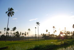 Reis fängt Kotamobagu auf Lizenzfreie Stockfotos