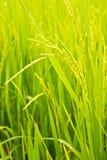 Reis-Feld Stockfotografie
