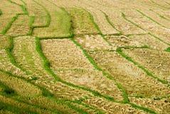 Reis-Feld stockfotos