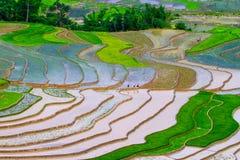 Reis-Feld Lizenzfreie Stockbilder