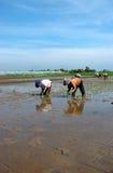 Reis-Feld Lizenzfreies Stockbild