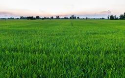 Reis-Feld am Abend Lizenzfreies Stockfoto