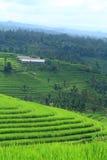 Reis-Feld bei Bali Indonesien Lizenzfreie Stockfotos