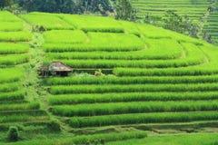 Reis-Feld bei Bali Indonesien Lizenzfreies Stockbild