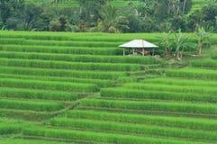 Reis-Feld bei Bali Indonesien Stockfotografie