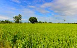 Reis-Feld an der Landschaft Lizenzfreie Stockfotos