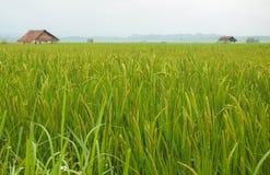 Reis-Feld in Luang Namtha stockfoto