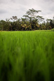 Reis-Feld in Ubud Stockbild