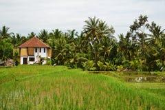 Reis-Feld-und Palmen Lizenzfreie Stockfotos