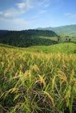 Reis-Felder Stockfoto