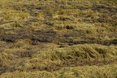 Reis-Felder, nach havested. Stockbild