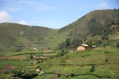 Reis-Felder in Uganda, Afrika lizenzfreie stockbilder