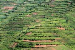 Reis-Felder in Uganda, Afrika lizenzfreies stockbild