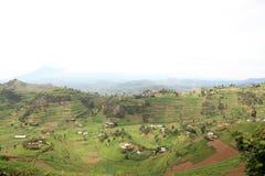 Reis-Felder in Uganda, Afrika stockfotos