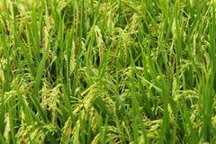 Reis in The Field Stockbild