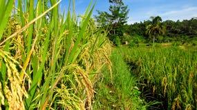 Reis fing an sich gelb zu färben Lizenzfreies Stockbild