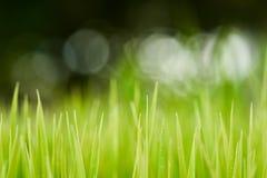 reis Frischer grüner Reis mit Tautropfennahaufnahme Weicher Fokus Abstr. Lizenzfreie Stockfotografie