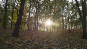 Reis, Gevallen Gebladerte in Autumn Forest Sunny Day stock footage