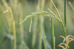 Reis, Grün Stockfotos