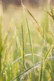 Reis, Grün, Bokeh Lizenzfreies Stockbild