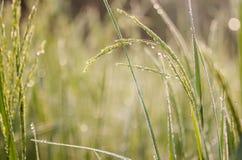 Reis, Grün, Bokeh Stockbilder