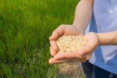 Reis an Hand, Naturreis Stockbild