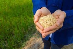 Reis an Hand, Naturreis Lizenzfreies Stockfoto