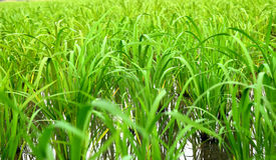 Reis im Getreidefeld Stockbild