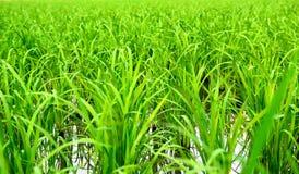 Reis im Getreidefeld Stockfotografie