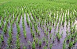 Reis im Getreidefeld Stockbilder