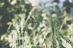 Reis im Reisfeld in der Landschaft Weizenwiese im Ackerland Lizenzfreie Stockfotografie