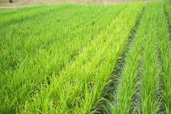 Reis ist auf dem Gebiet wachsend Stockfotos
