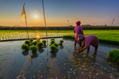 Reis ist das bedeutende Lebensmittel in Thailand Stockfotografie